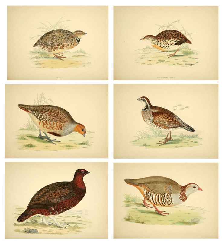 Game Fowl Prints