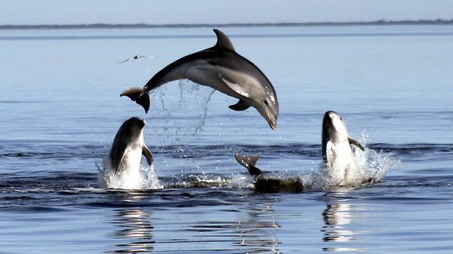 Dolphins in the Bay, New species discovered http://archaeologynewsnetwork.blogspot.com.au/2011/09/new-dolphin-species-discovered-in.html