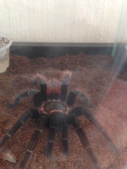 My baby tarantula (Mexican Red Rump)