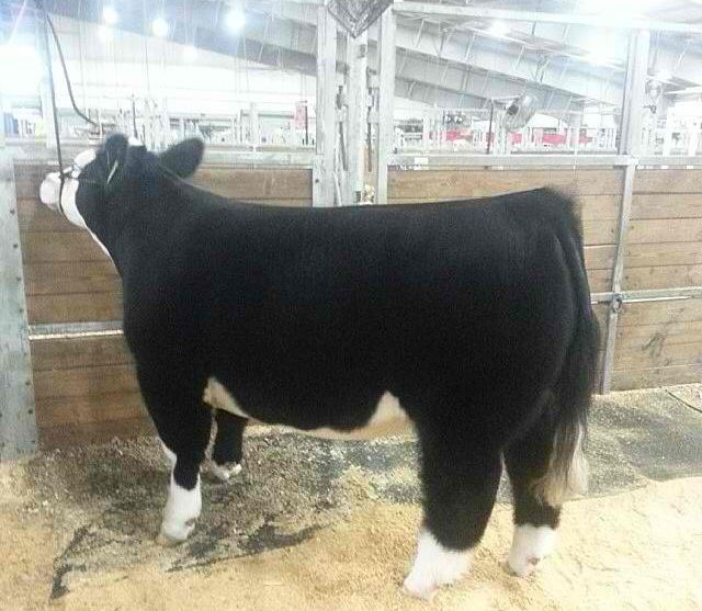 Show cattle. Looks like my panda bear