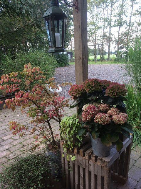 Fru Pedersens have: Magiske hortensiaer.
