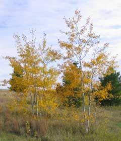 Prairie Gold Aspen Clump Patio Trees Trees To Plant