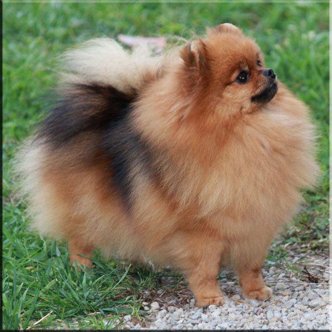 Pomeranian > from Germany ..... Use today: Companion ...