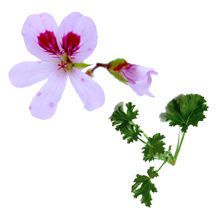 'Prince of Orange' scented geranium is a medium-sized, compact plant with small, serrated, medium green leaves. Its large lavender & purple flowers are among the most spectacular among the the Scented Geraniums. Nice orange fragrance.