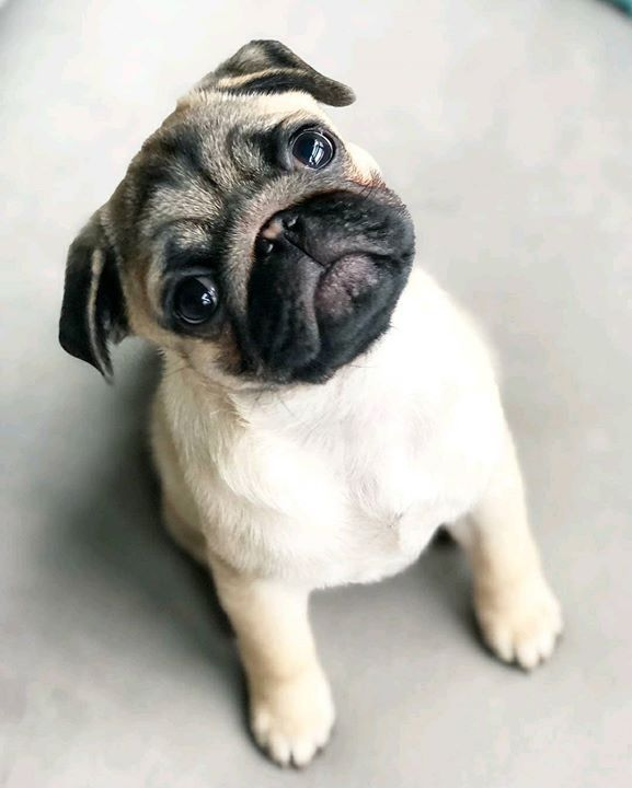 How Cute Is A Pug Named Tug Baby Pugs Cute Pugs Puppies