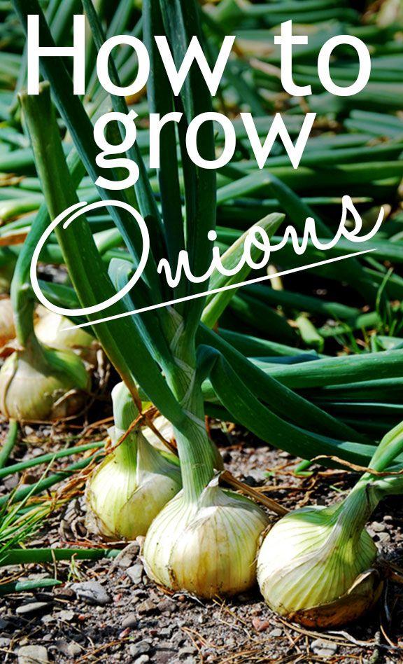 Veg Garden How To Grow Your Own Onions Veg Garden 640 x 480
