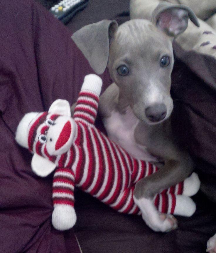 Joey, an Italian Greyhound
