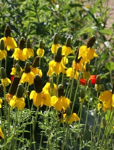Wildflowers, Prairie Coneflower (Ratibida columnifera)