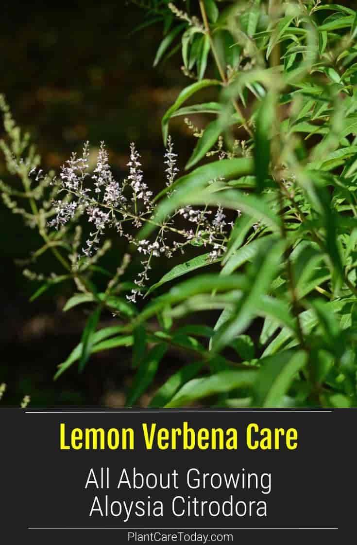 Lemon Verbena Care Tips On Growing Aloysia Citriodora Verbena Plant Lemon Verbena Verbena