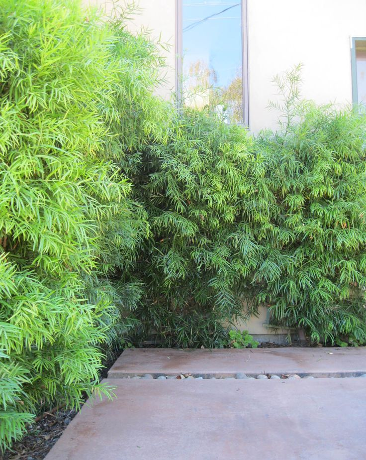 Podocarpus gracillior - Sloat Garden Center