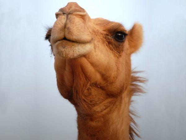 Smug camel.