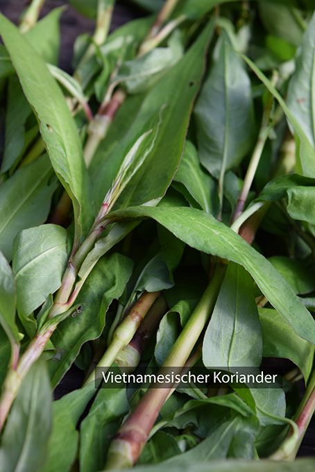 # Vietnamesischer Koriander, # Koriander