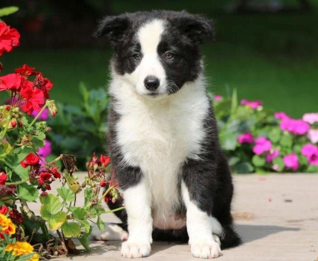 Twinkles Border Collie Puppy For Sale Keystone Puppies Border Collie Puppies Collie Puppies Puppies