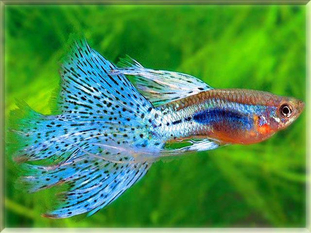1000 ideas about guppy fish on pinterest aquarium fish for Guppy fish food