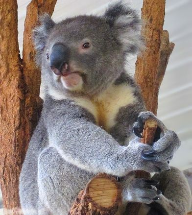 A beautiful koala safe at @Lone (owner of Kind by Nature) Pine Koala Sanctuary in Australia! See more amazing koalas (with babies!): http://www.gypsynester.com/koala.htm  #ThisIsQueensland #travel #Australia