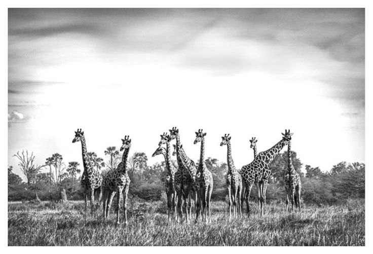 black and white wildlife print of giraffe by wildlife photographer Dave Hamman