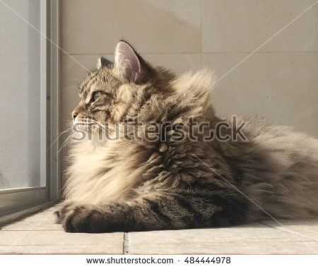 Longhair cat, brown siberian breed, profile - image New on #shutterstock #pet #puppy #kitten #chat #gatos #browncats #cat #adorablecats #猫