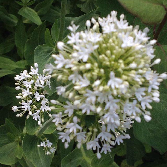 #mindfulness#achtsamkeit#spring#frühling#gardening#garten#natur#nature#naturelovers#landliebe#landlust#bauerngarten#gartenglück#gartenliebe#wachstum##growth#flowers#blumen#floral#tulip#tulpen#structure#life#leben#blüte#flowerbud#blütenknospe#spornblume#white#spurflower
