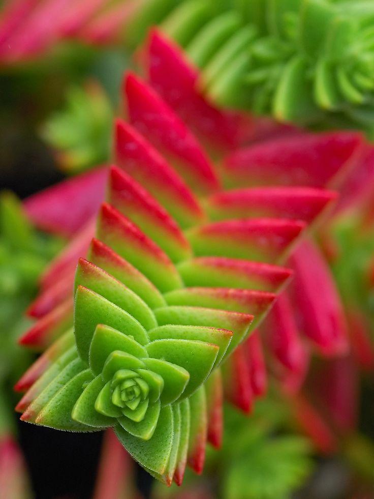Cool Product Alert: The Alluringly Beautiful Crassula Capitella Succulent