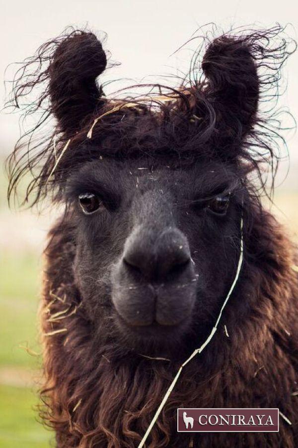Oh, hello! :D #alpaca #coniraya #alpakino #alpacas