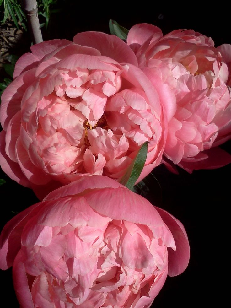 Peonies - Coral Sunset