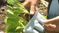 How to Grow Romaine Lettuce | eHow