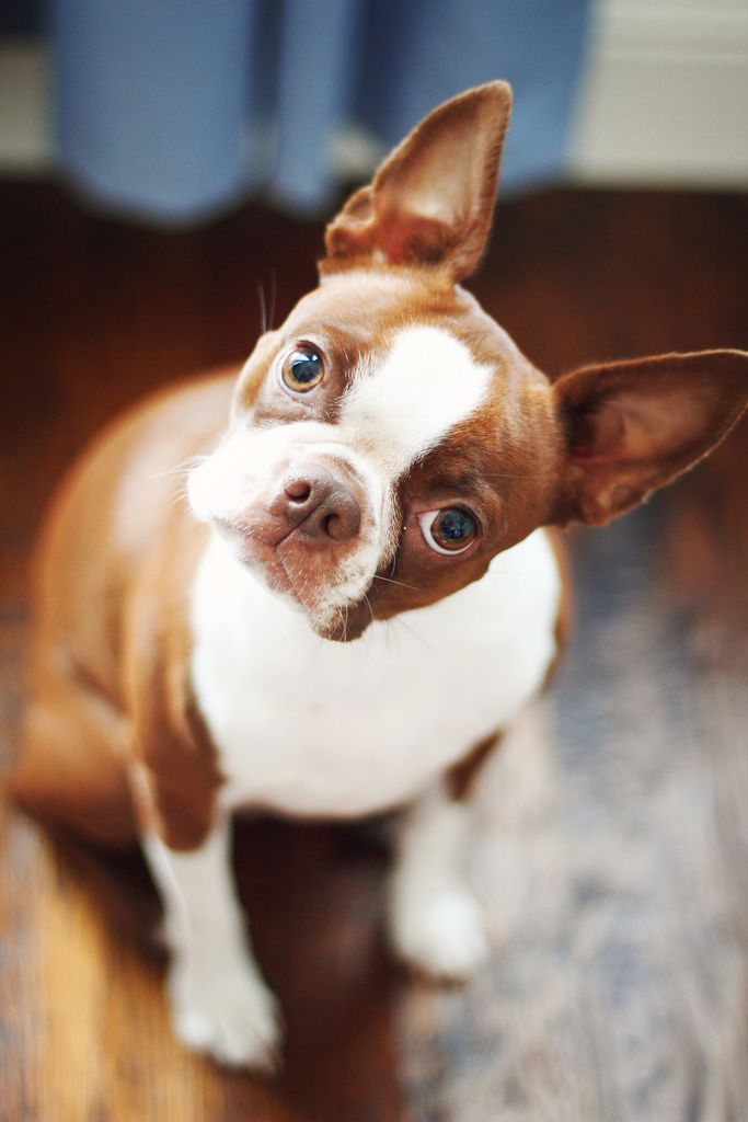 Best 20 Red Boston Terriers Ideas On Pinterest Boston