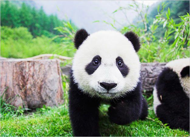 : Animal Planets, Pet Pandas, Baby Pandas, Animal Pictures,  Pandas Bears, Bears Pictures, Giant Pandas,  Coon Bears, Adorable Animal