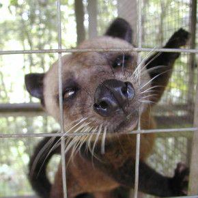 Chiedi al Governo indonesiano di emanare norme sul trattamento dei musang, o…