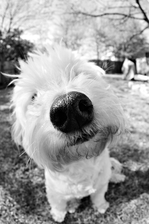 """Is it sad that I literally poked my finger at this dog's nose and went """"boop!"""" upon seeing this picture? It's just such a cute little nose!"""
