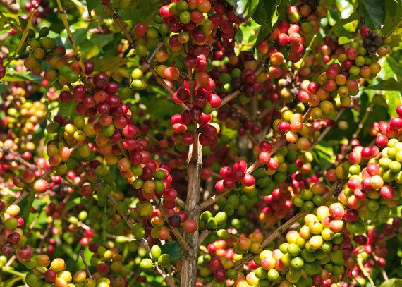 Coffee Bean Plant Seeds Hawaiia Kona Great House Plant 25