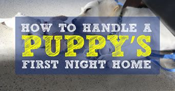 Your Puppy's First Night At Home can be very exciting. However, your puppy's first night can also be frustrating and sleepless.