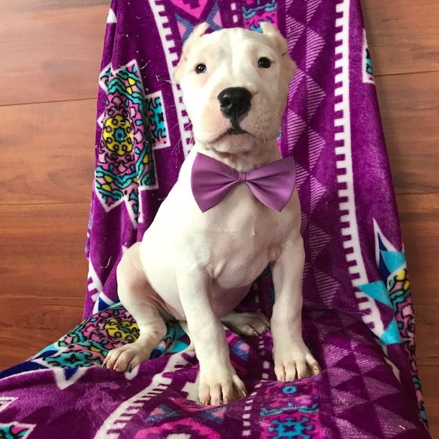 Dogo Argentino puppy for sale in QUARRYVILLE, PA. ADN-63774 on PuppyFinder.com Gender: Female. Age: 12 Weeks Old