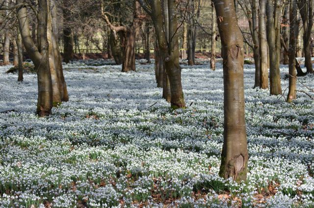 Snowdrops in the wild.  This picture is of Welford Park, Berkshire.