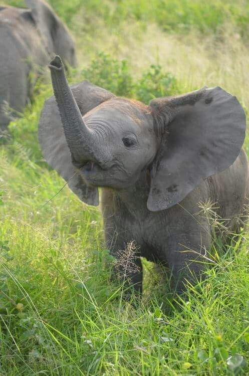 Baby elephant with a straight trunk