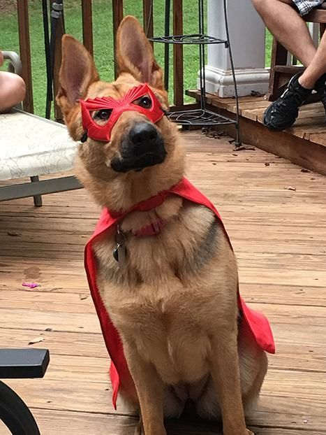Koa, a German Shepherd from Louisburg, NC.    Some of our favorites from the 2016 Good Dog Reader Photo Contest