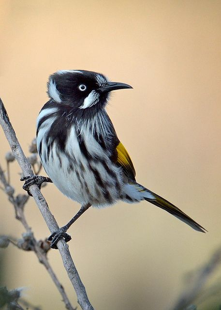 ~~New Holland Honeyeater by birdsaspoetry~~