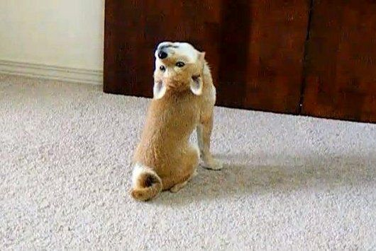 grappig, grappige foto's, grappige foto's, mislukken, grappige honden, hond, 18 honden die vergat hoe te Dogs zijn