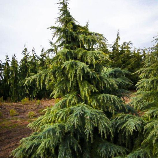 'Feelin' Blue' Deodar Cedar Cedrus Deodara  3-20' x 6'