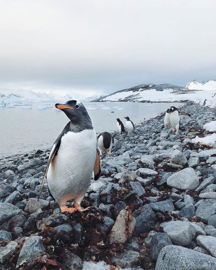 """64°41'1"""" S, 62°37'47"""" W //gentoo penguin, cuverville island, antarctica // #shotoniphone  #Regram via @johnbozinov"""
