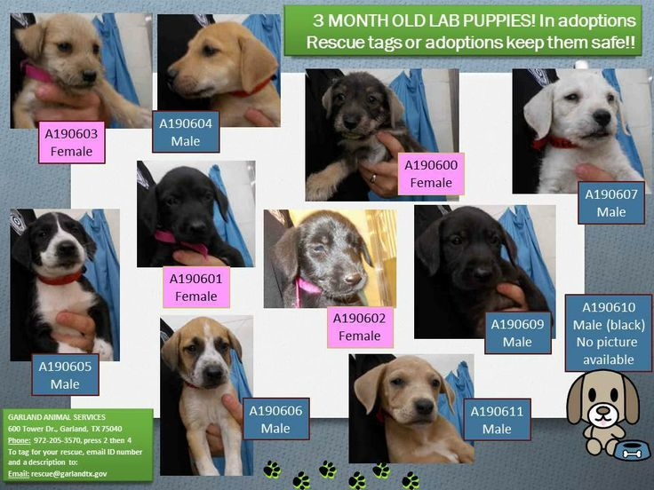 Garland tx all others still there 3 month old lab