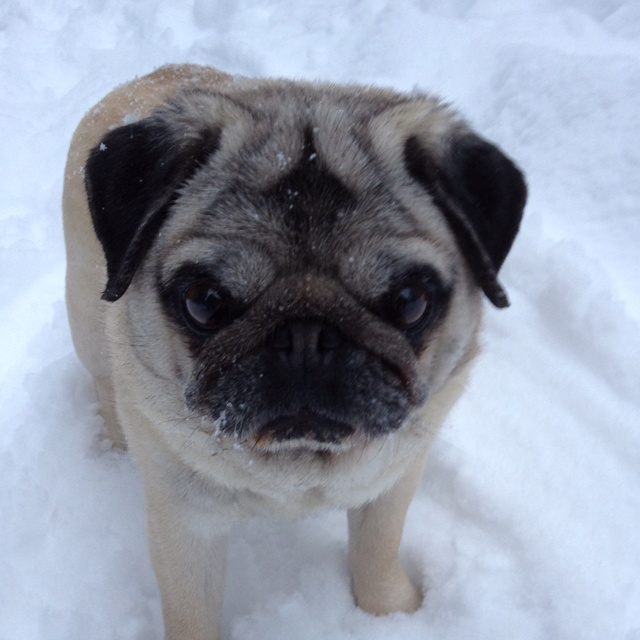My puggy in the fresh snow