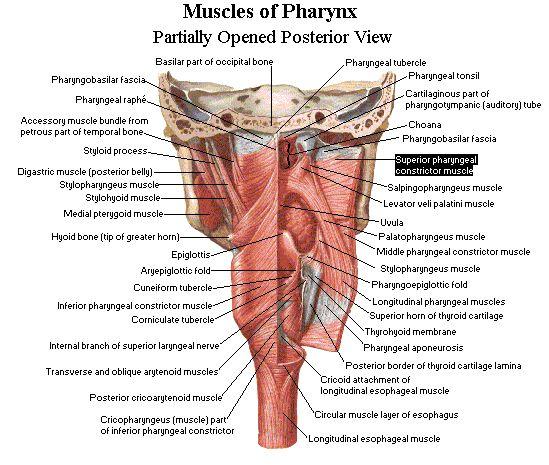 7. The anatomy, histology and development of the pharynx, larynx and thyroid gland. « DOTE Anatomy topics