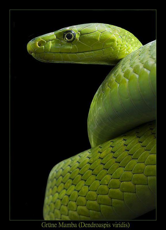 Grüne Mamba - Dendroaspis viridis - Reload 2 von Markus Trenkner