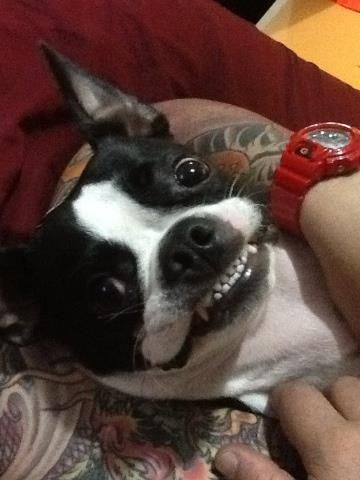 Famous Smile of Napoleon the Boston Terrier dog - http://www.bterrier.com/famous-smile-of-napoleon-the-boston-terrier-dog/