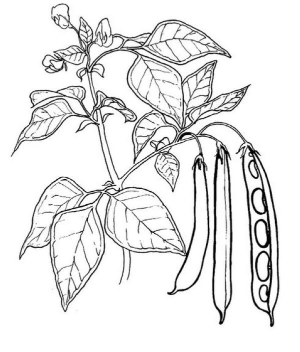 Free Peas Coloring Pages Printable Vegetable Coloring Pages