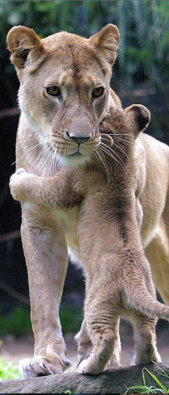 Nine-week-old African lion cub hugs its mother at Taronga Zoo in Sydney, Australia • photo: Bashir Zadjali