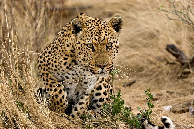 Leopards Facts! - The leopard is very stealthy and in the wild this can make it very hard to track down. It is an opportunistic feeder and preys on most kinds of animals.