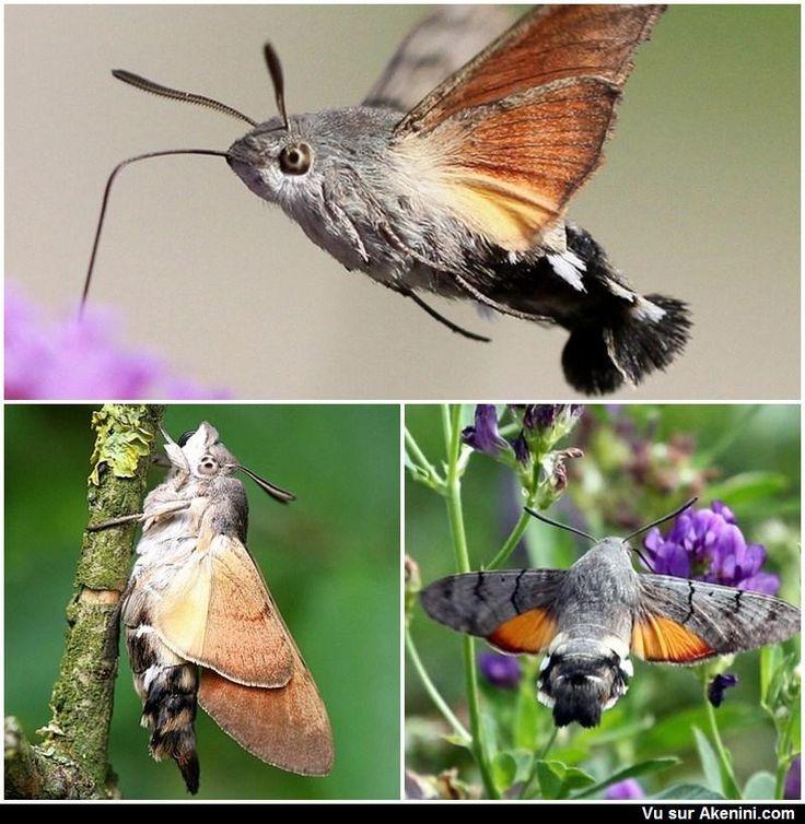 les 13 meilleures images du tableau sphinx colibris sur pinterest papillons insectes et. Black Bedroom Furniture Sets. Home Design Ideas