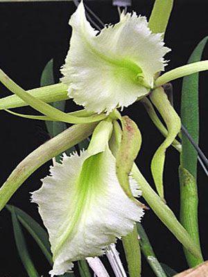 """Ароматная  орхидея  - Брассавола  """"Джимини Крикет """"."""